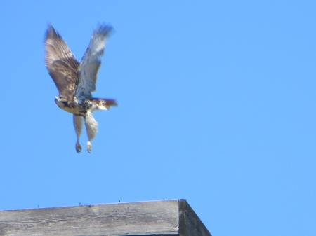 A fledgling hawk on the move in NYC.