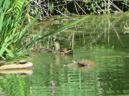 Female mallard and turtles.