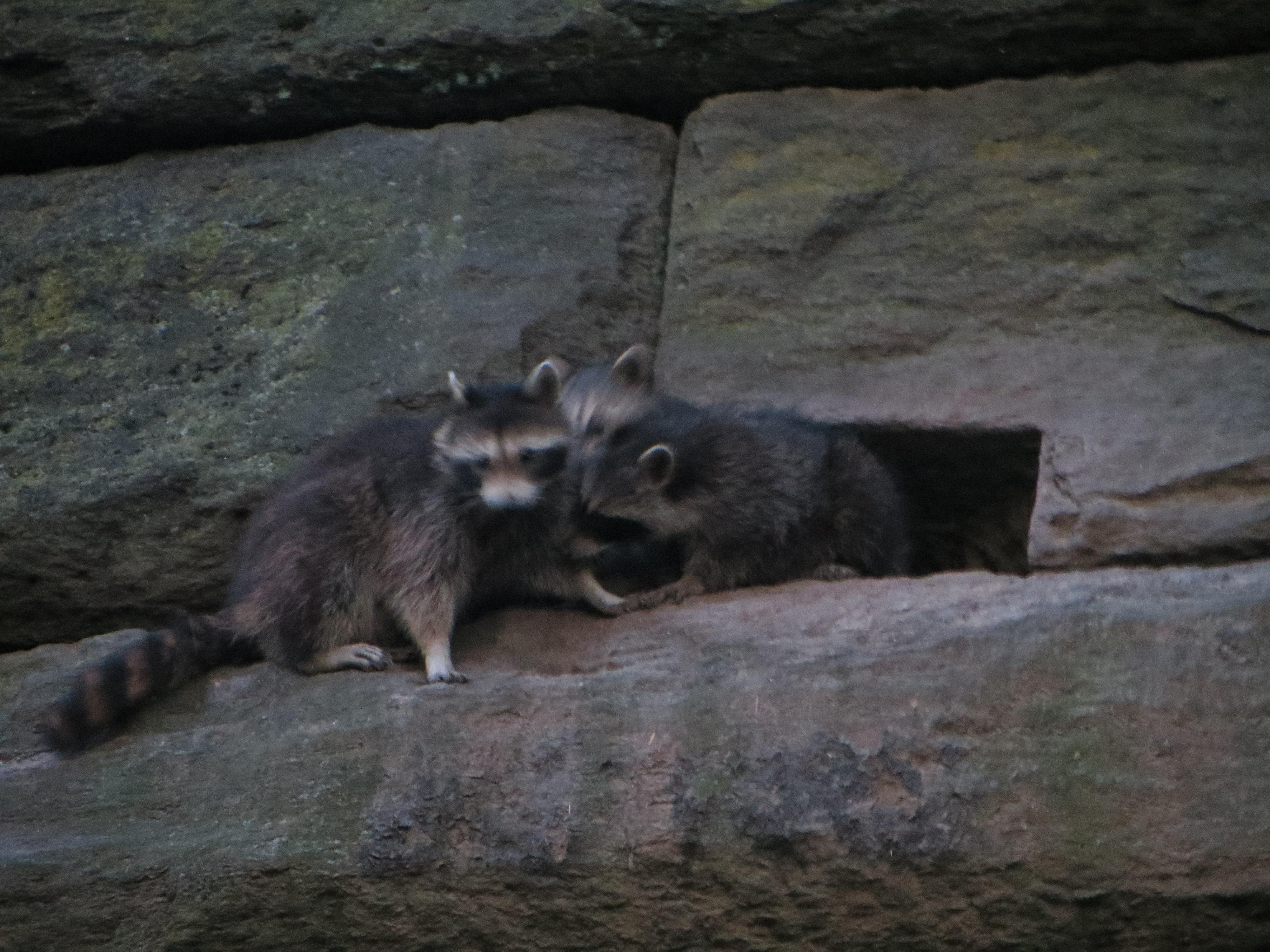 raccoon bonanza in riverside park w video out walking the dog