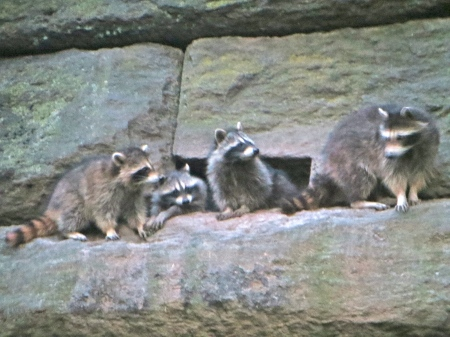 Four raccoons on the retaining wall in NYC's Riverside Park.