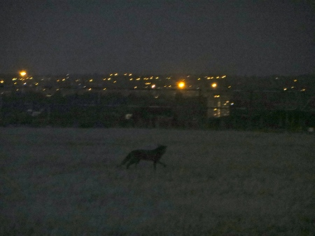 Ghost fox in south London.