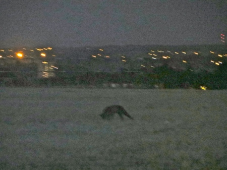 A fox at Nunhead Reservoir.