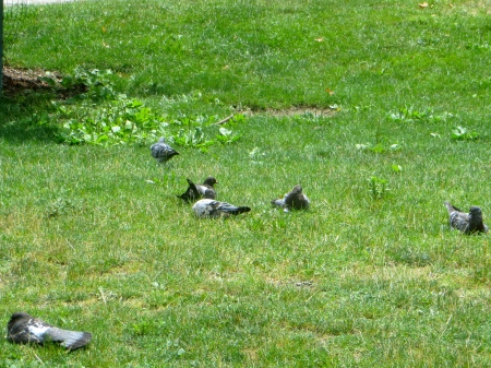 Just a few of many resting pigeons.
