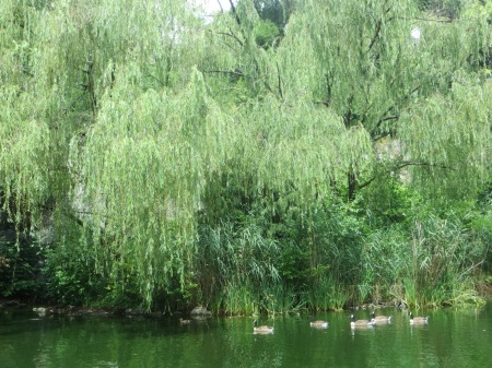 A goose family swims past the little island in Morningside Park.