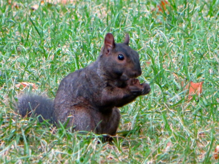 Black Squirrel in Washington Square Park