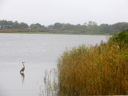 Great Blue Heron fishes in Mecox Bay.