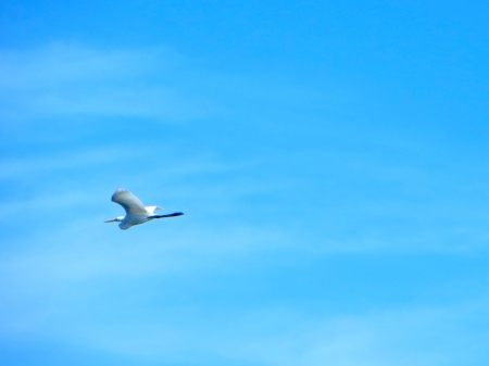 Great egret flies over Mecox Bay.