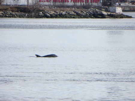 East River Dolphin, March 13, 2013. Photo: Melissa Cooper