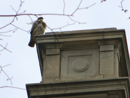 Roof hawk.
