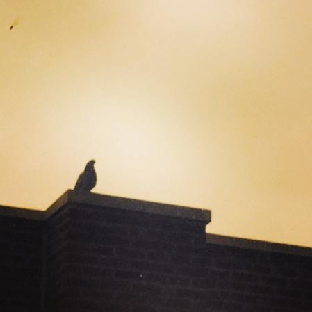 Rock Pigeon.