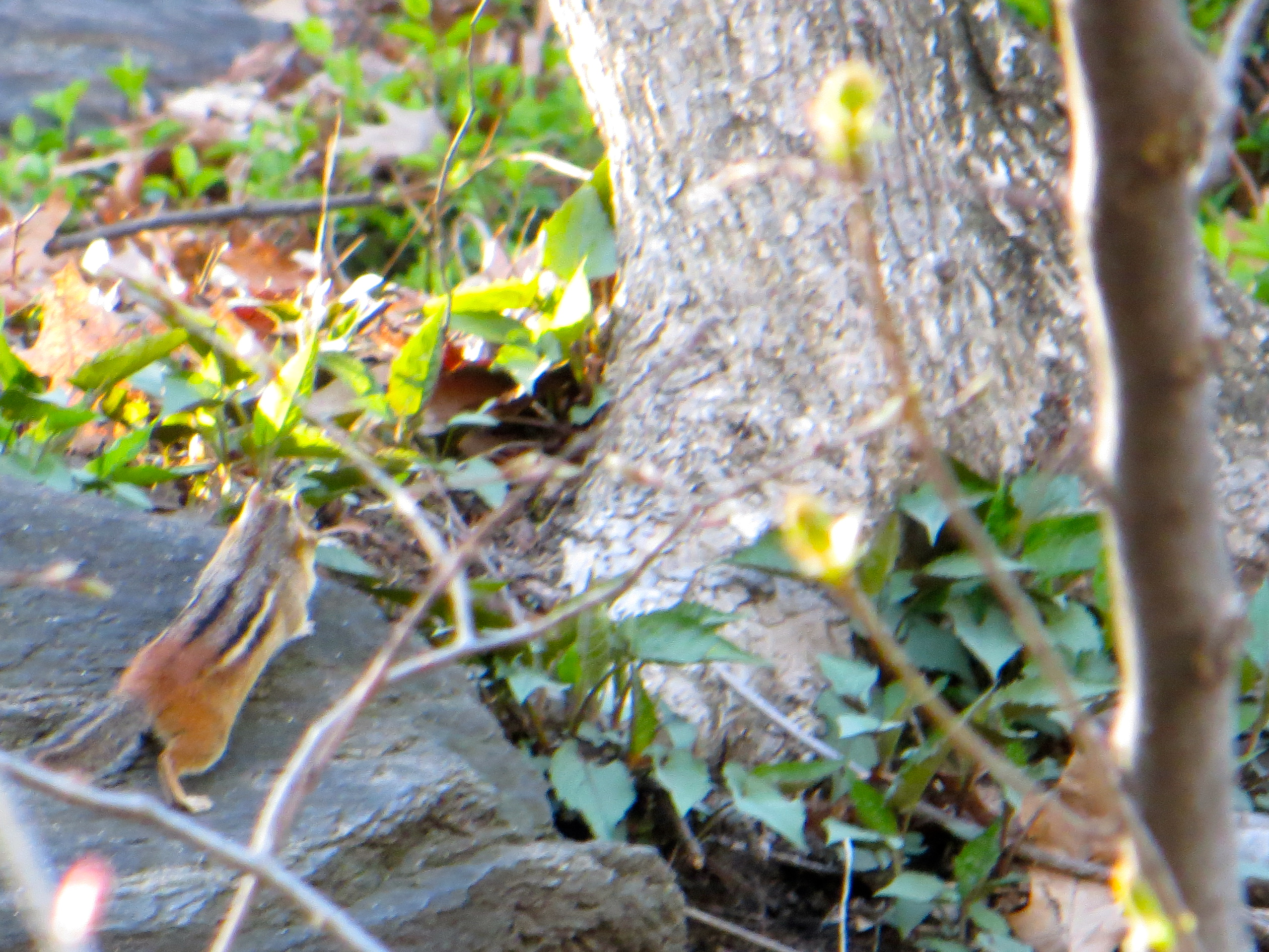 Eastern chipmunk, Central Park, NYC. Photo: Melissa Cooper