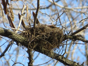A hidden nest from last spring is easily spotted through winter's bare branches.