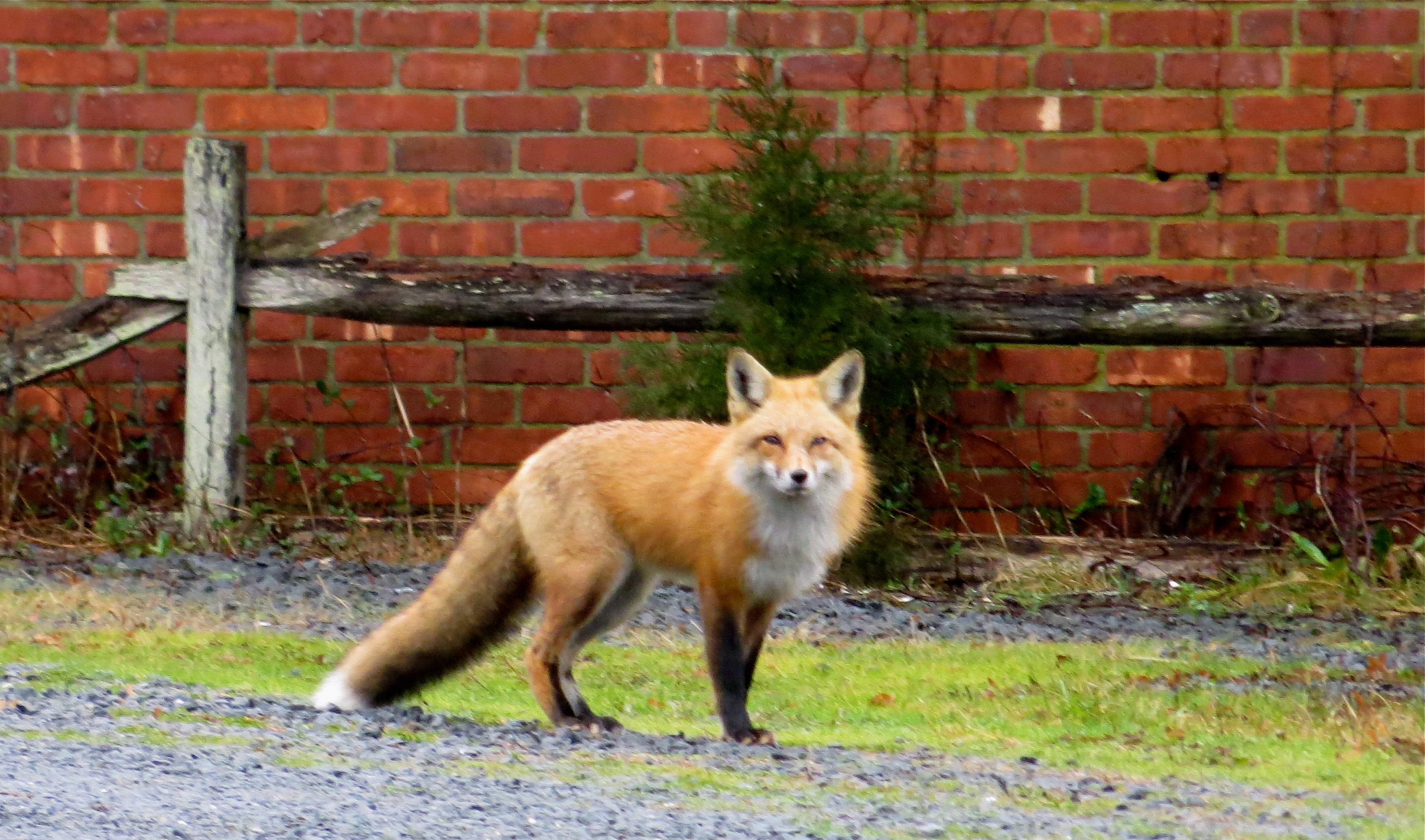red fox cape cod in winter out walking the dog