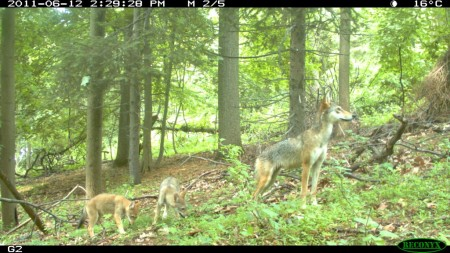 Camera Trap image from the Munshi-South Lab website.